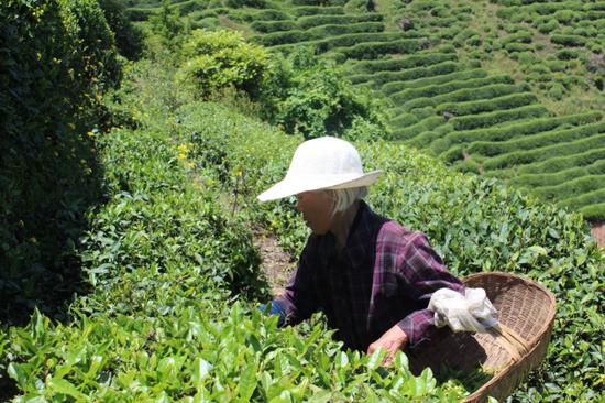 茶园周边的贫困农户上山采茶,增加收入
