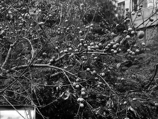 桃树上只结桃子没有叶子