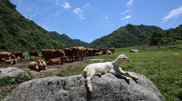 留坝狮子沟牧场天蓝草绿牛羊悠闲自得