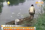 长安区一养鱼户 万斤鱼儿一天死亡