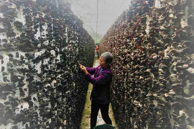 洋县农民吊袋种木耳 半亩年收入达6万