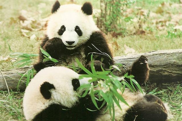陕西:大熊猫宝宝首次公开亮相 向社会公开征名