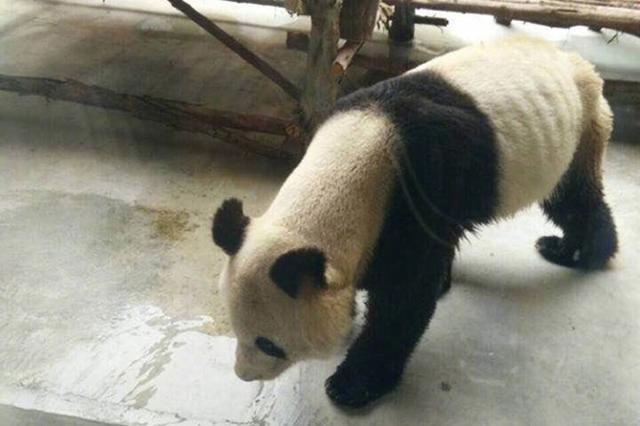 西安秦岭野生动物园大熊猫瘦成皮包骨 园方称已康复