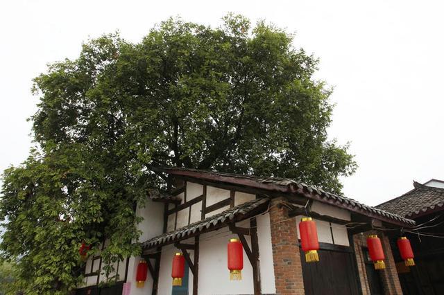 安康90岁老太独守千年屋包树 枝繁叶茂风景迷人