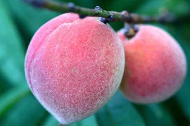 桃花开的季节 杨凌大棚桃子丰收  一斤能卖50元
