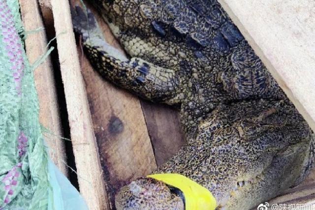 宝鸡交警查车闻到腥臭味 在车厢发现两米长鳄鱼