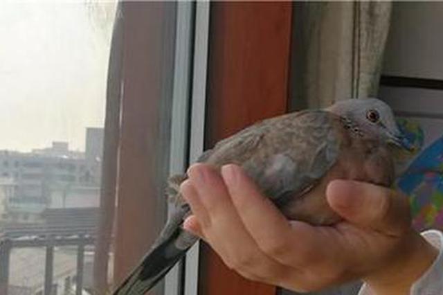野生斑鸠误撞玻璃窗 好心市民救助已放归