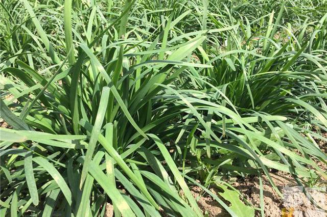 西安十多亩韭菜急需销路 菜农:两月后成韭苔了