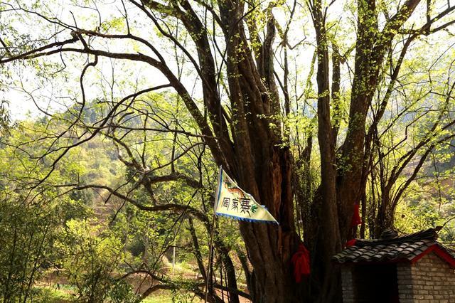 镇安有棵1500年树龄红豆杉 这里成了红豆杉氧吧小镇