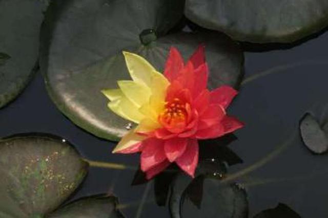 没素质!西安植物园罕见双色睡莲疑遭游客摘走