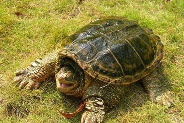 """西安男子高价解救""""龟仙人"""" 竟是只凶悍的鳄龟"""