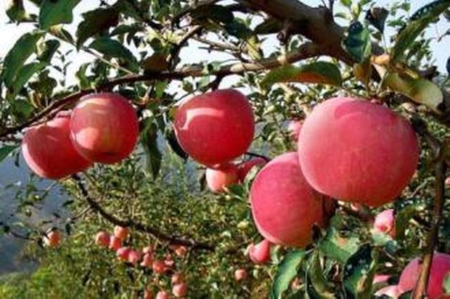 小苹果带来大变迁 亲历者讲述铜川苹果30年发展史