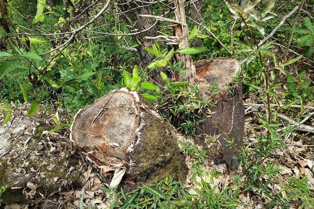 """80亩山林被""""剃光头"""" 森林公安半年未结案"""