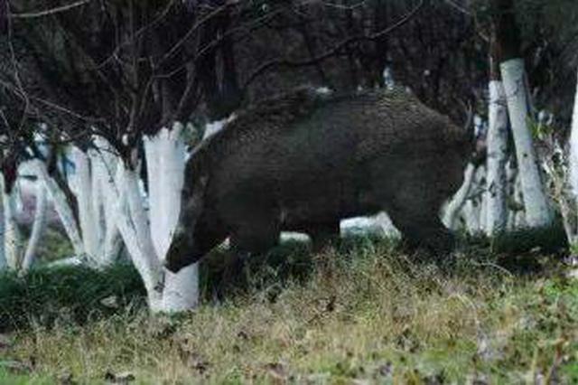体型巨大野猪闯入汉中市区 特警果断将其击毙