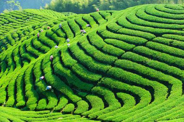 陕西省上半年新增茶园9万余亩 推进标准化生产
