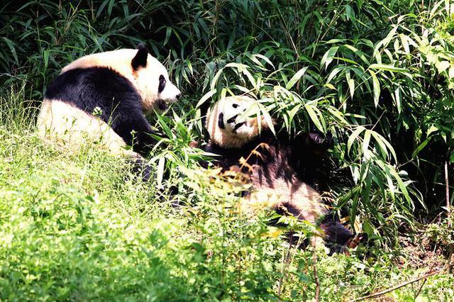 """""""我为大熊猫种竹子""""陕西可以在网上种树了"""