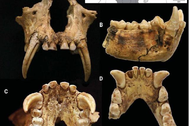 秦始皇祖母墓发现长臂猿遗骸 属已灭绝长臂猿