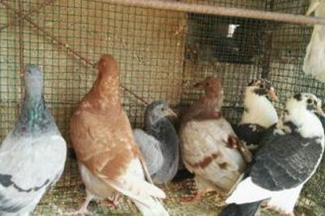 住户养鸽子味道难闻邻居难忍 社区:将协商处理