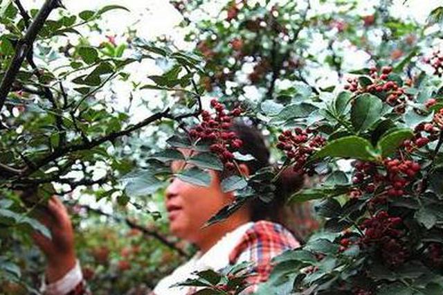 韩城55万亩花椒丰收急需大量采椒客 采摘期大概40多天