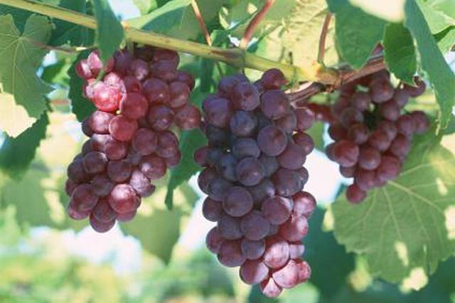 鄠邑6000多亩葡萄卖不上价 农业局:将调整种植品种