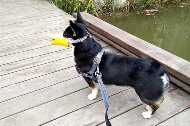 遛狗不栓绳或将5年不能养犬 这次西安管狗要来真的?