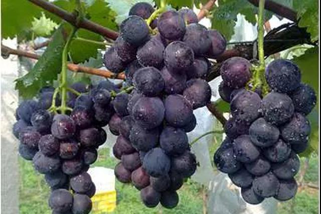 西安成立专门调查组 为鄠邑区滞销葡萄找销路