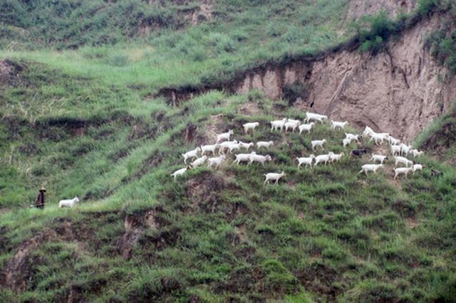 榆林靖边:封山禁牧形同虚设 禁牧区内放羊现象普遍