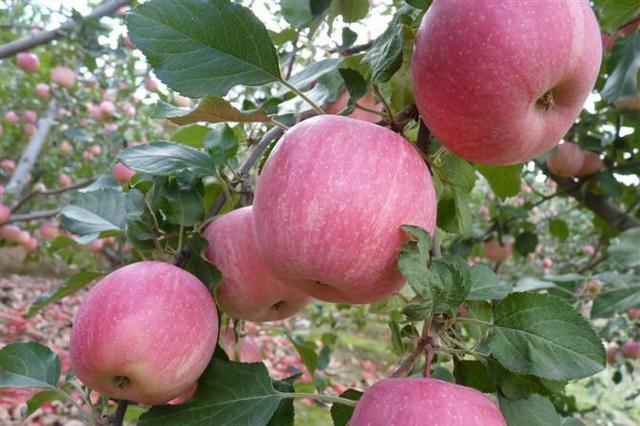 """苹果新品种""""秦月""""将上市 填补陕西苹果中熟空白"""