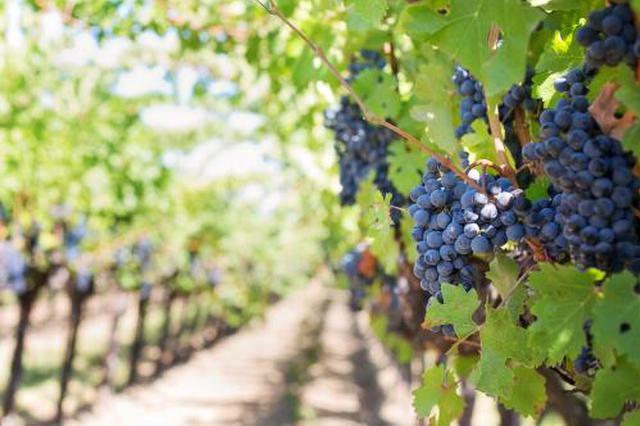 嫌疑人销售伪劣农药致葡萄减产被刑拘 经济损失20多万