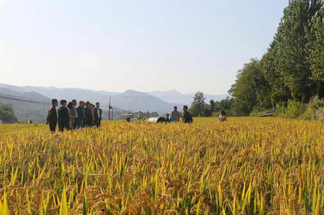 石泉池河:苏陕合作项目软香米试种成功喜获丰收