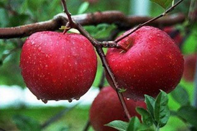 陕西苹果新品种已达24个 居国内苹果主产区省份之首