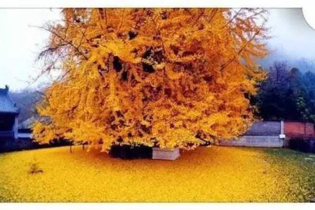 長安最美銀杏樹由綠漸黃 兩周后可賞滿地黃金葉