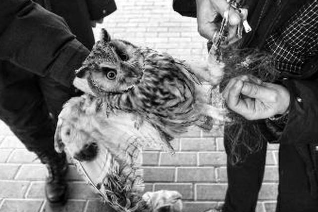 沣河岸边十多米长粘网网住国家二级保护动物长耳鸮