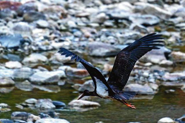 佛坪发现国家一级保护鸟类黑鹳成群越冬