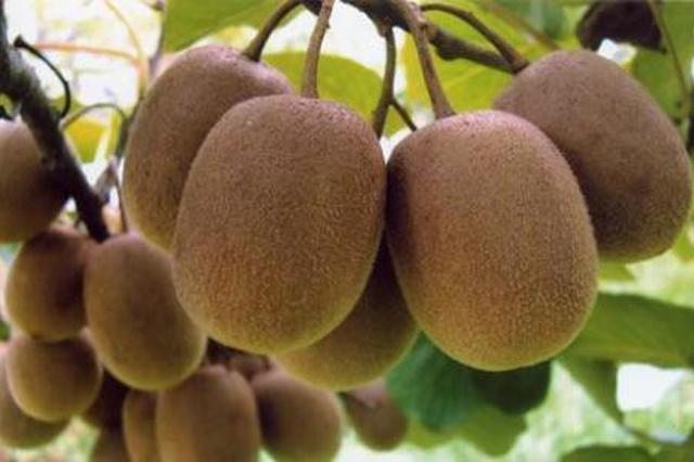 宝鸡猕猴桃入选快递服务现代农业金牌项目