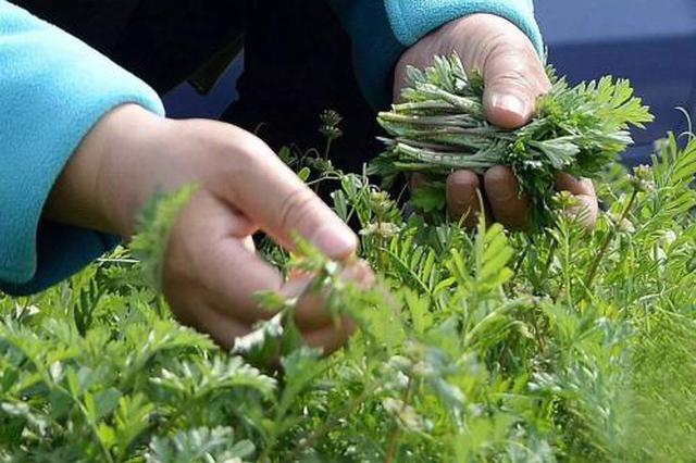 春季不要随意采摘购买野菜 避免食用野菜中毒