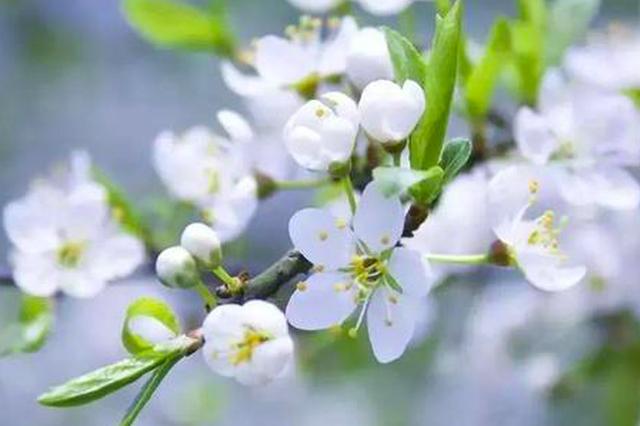 中国蒲城第三届梨花文化旅游节即将盛大开幕!