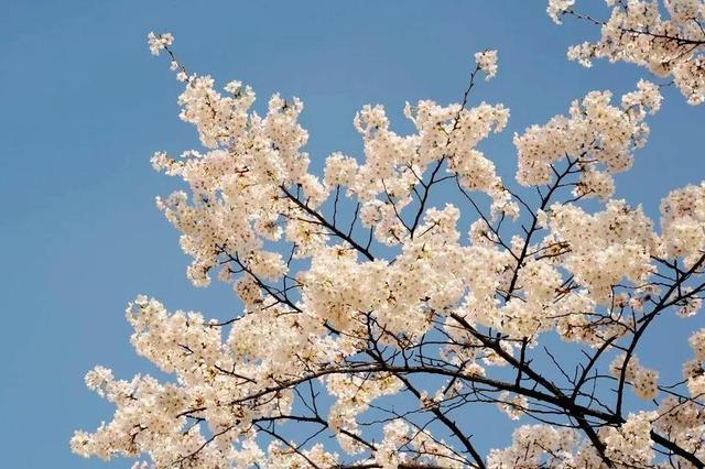已是最美樱花季,来灞桥赏樱花,和最美的那个她......
