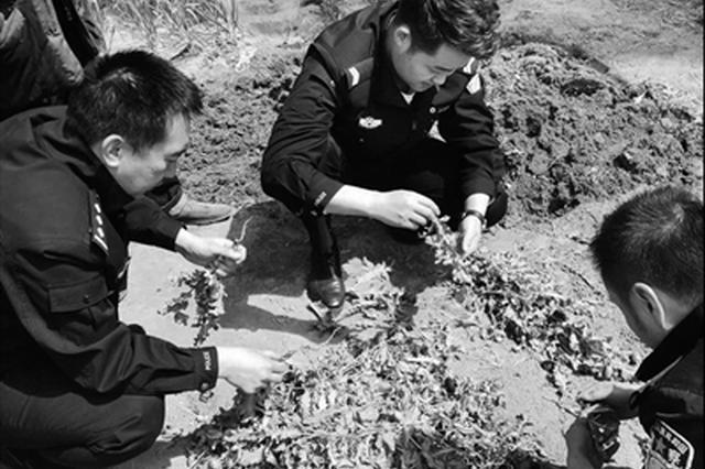 罂粟误当野菜吃 六旬老人共种植325株被处罚500元