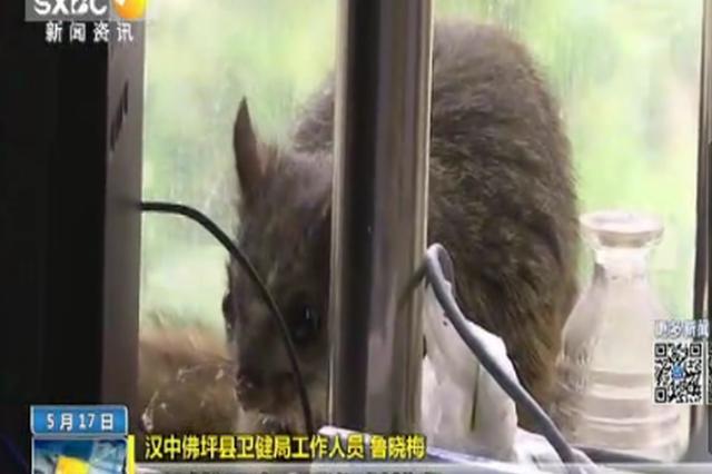 汉中佛坪:鼯鼠闯入办公室 已送归大自然