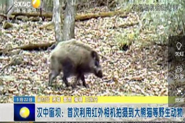 汉中留坝:首次利用红外相机拍摄到大熊猫等野生动物