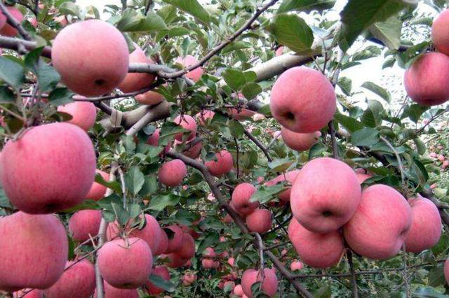 陕西苹果市场价格创历史新高 将再建三个苹果产业带