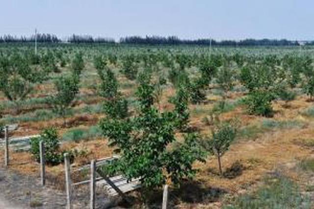 榆林在沙地(沙漠)试种苹果获成功 种植面积达1.5万亩