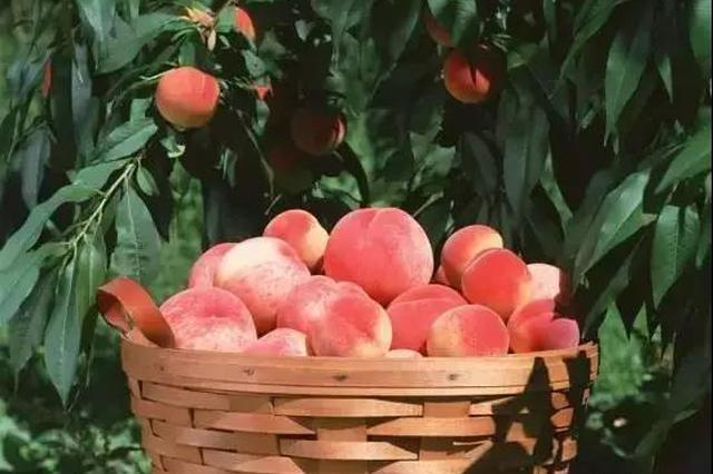 摘桃赏景品农趣,浐灞君邀你体验不一样的采摘节