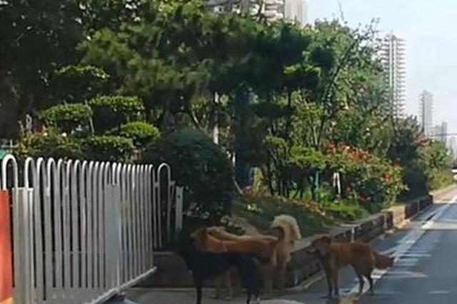 咸阳流浪狗扎堆逛街 管理部门:立即组织清理