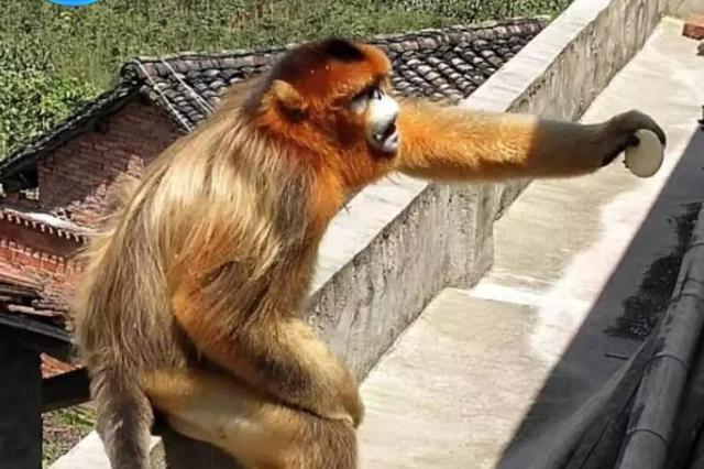 """不拿自己当外""""猴"""" 金丝猴村民家蹭吃蹭喝不肯走"""