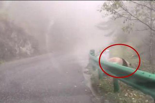 惊喜!游客太白县黄柏塬赏秋景 相继邂逅羚牛、大熊猫