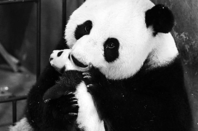 三只秦岭大熊猫萌宝盼认养 100万元可冠名