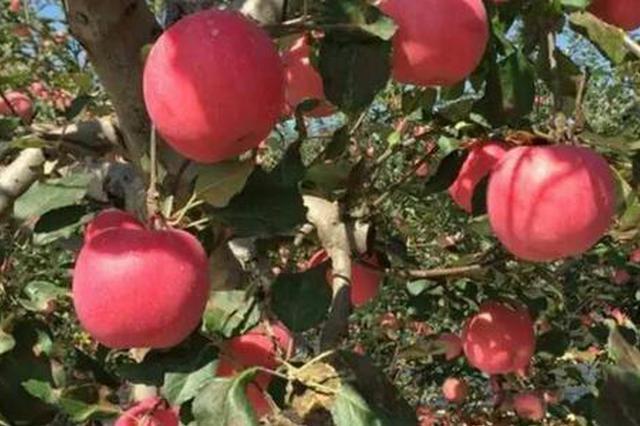 延安380万亩苹果喜获丰收 预计产量达320万吨以上
