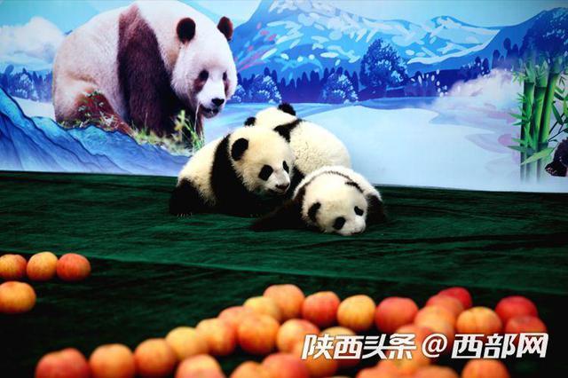 2019秦岭大熊猫新生宝宝庆百日活动在西安举行
